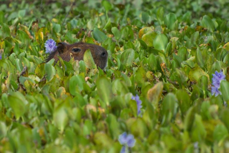 Dia do Pantanal - Áreas Que Protegem a Vida - Capivara no meio da vegetação