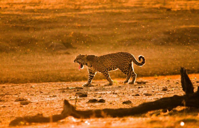 Dia do Pantanal - Áreas Que Protegem a Vida - Onça Pintada bocejando