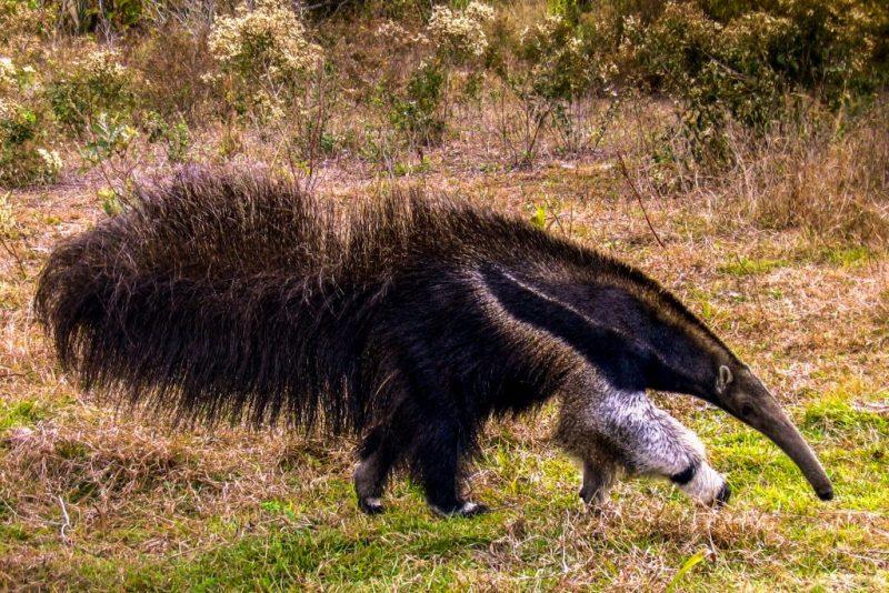 Dia do Pantanal - Áreas Que Protegem a Vida - Tamanduá-Bandeira